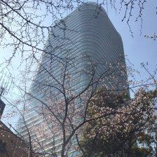 東京都心のサクラ開花状況